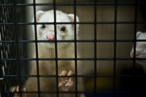 Ferret in cage, Photo credit Selbe B, Flickr